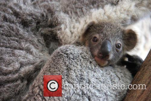 Taronga Celebrates Season's First and Koala Birth 1
