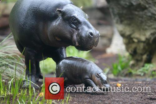 Adorable Baby Pygmy Hippo Takes His First Dip!