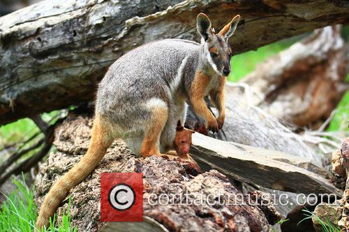 World First Surgery Saves and Baby Kangaroo Life 3