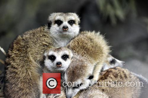 Cincinnati Zoo Visitos Get, Chance To Compare The and Meerkats 2