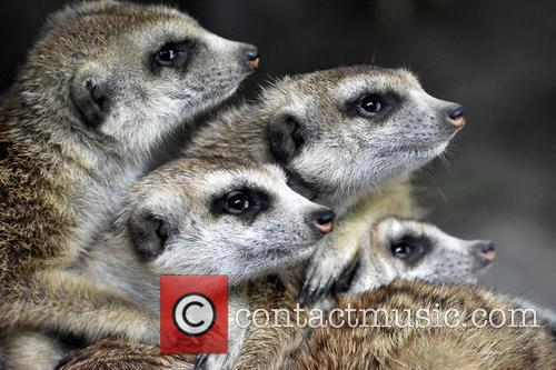 Cincinnati Zoo Visitos Get, Chance To Compare The and Meerkats 3