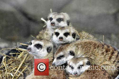 Cincinnati Zoo Visitos Get, Chance To Compare The and Meerkats 4
