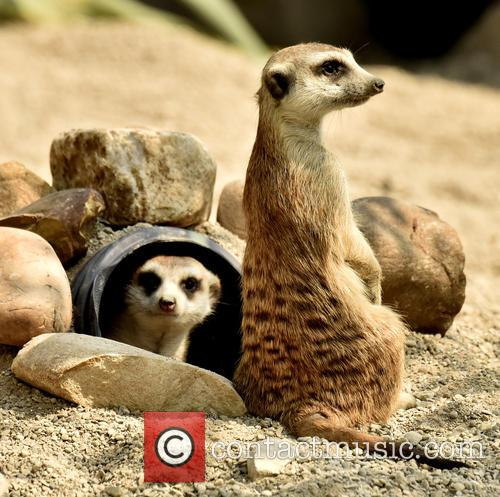 Cincinnati Zoo Visitos Get, Chance To Compare The and Meerkats 5