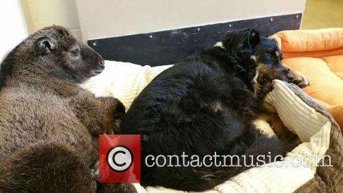 Blakely The Australian Shepherd, Nursery Dog Takes Care, New Baby Takin and Cincinnati Zoo 2