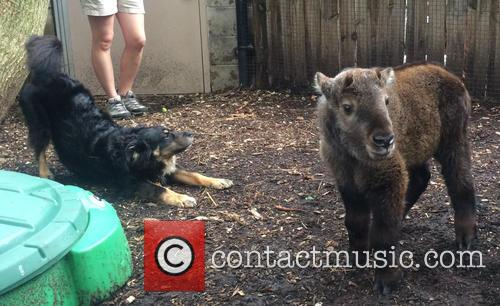Blakely The Australian Shepherd, Nursery Dog Takes Care, New Baby Takin and Cincinnati Zoo 3