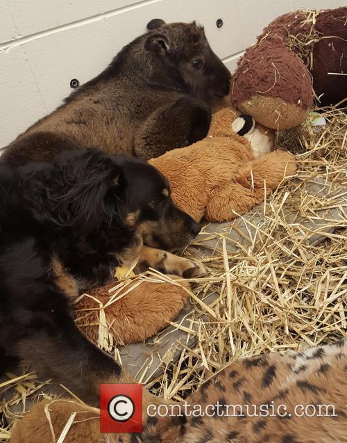 Blakely The Australian Shepherd, Nursery Dog Takes Care, New Baby Takin and Cincinnati Zoo 5