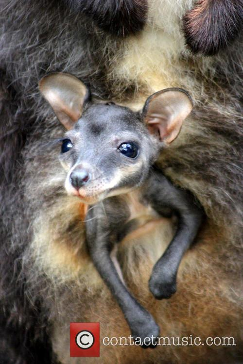 Taronga Welcomes Two Endangered and Wallaby Joeys 2