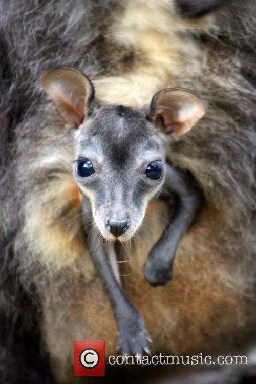Taronga Welcomes Two Endangered and Wallaby Joeys 3
