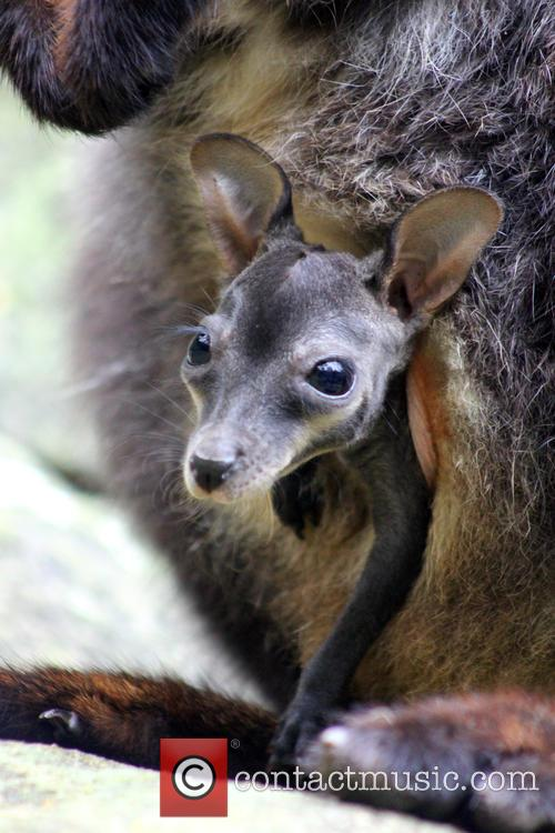 Taronga Welcomes Two Endangered and Wallaby Joeys 8