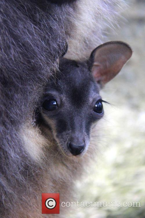 Taronga Welcomes Two Endangered and Wallaby Joeys 9