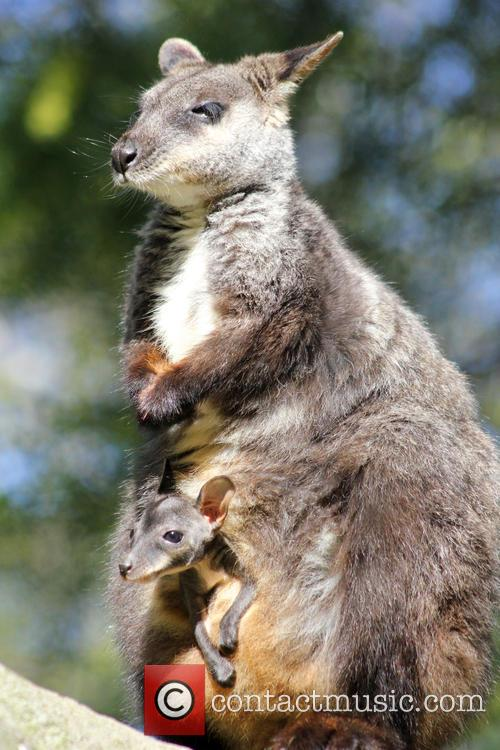 Taronga Welcomes Two Endangered and Wallaby Joeys 10