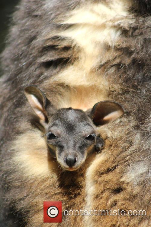 Taronga Welcomes Two Endangered and Wallaby Joeys 1