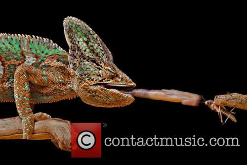 Chameleon (chamaeleonidae) Catching Grasshopper Set Up Studio Shot 1