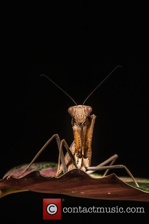 Praying Mantis (mantis Religiosa) Set Up Studio Shot 1