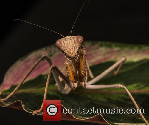 Praying Mantis (mantis Religiosa) Set Up Studio Shot 28 1