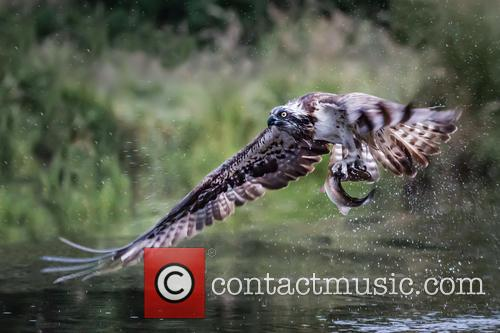 Osprey (pandion Haliaetus) Photographed In Cairngorms and Scotland August 2013 Before Migrating Back To Africa 1