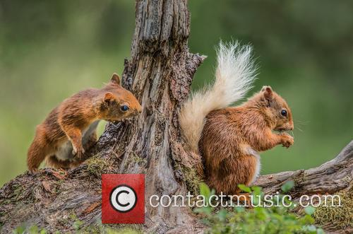 Red Squirrels (sciurus Vulgaris) Photographed In Cairngorms and Scotland August 2014 1