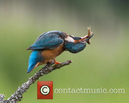 Kingfisher (alcedines) Photographed By River Dee, Kirkcudbright and Scotland – July 2015 2