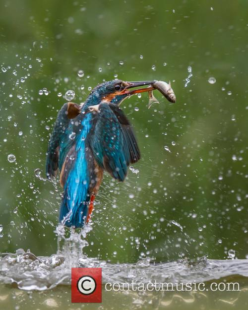 Kingfisher (alcedines) Photographed By River Dee, Kirkcudbright and Scotland – July 2015 1