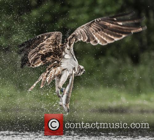 Osprey (pandion Haliaetus) Photographed In Scotland, Cairngorms and July 2015 1