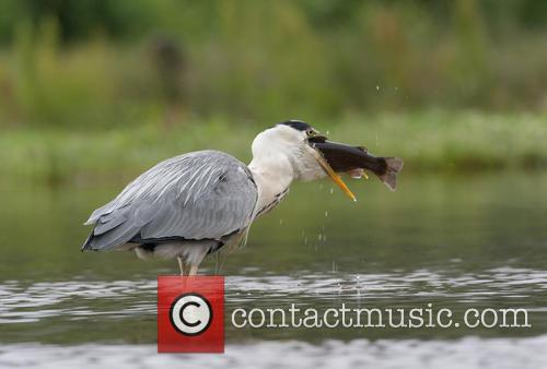 Grey Heron (ardea Cinerea) Swallowing Farmed Trout Photographed In Scotland, Cairngorms and July 2015 1