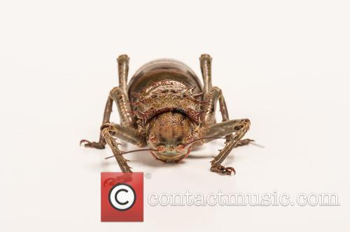 Giant Armoured Cricket (acanthoplus Discoidalis) Native To Parts Of Namibia, Botswana, Zimbabwe and South Africa Set Up Studio Shot 2