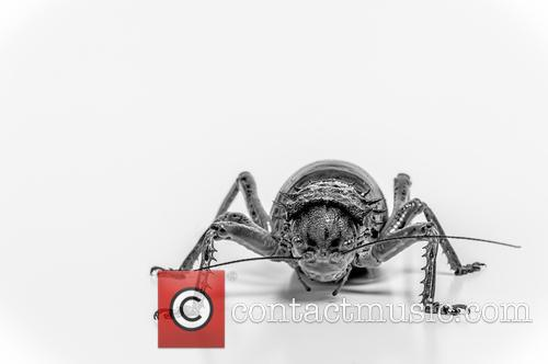 Giant Armoured Cricket (acanthoplus Discoidalis) Native To Parts Of Namibia, Botswana, Zimbabwe and South Africa Set Up Studio Shot 1