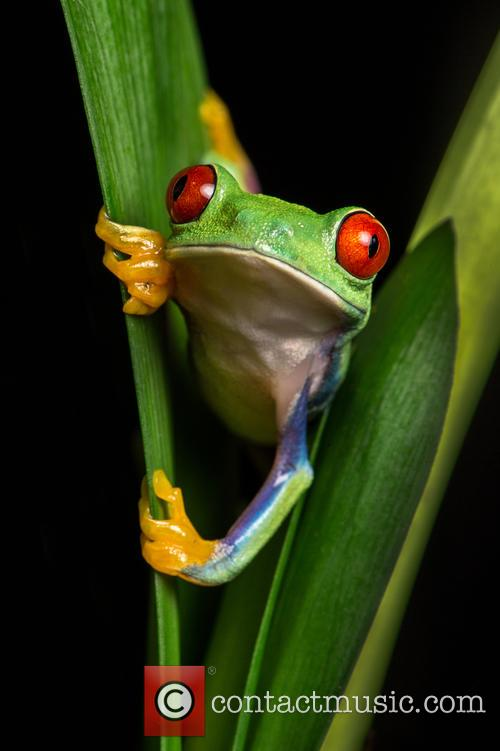 Red-eyed Tree Frog (agalychnis Callidryas) Found In Mexico Through Central America and Columbia Set Up Studio Shot 2