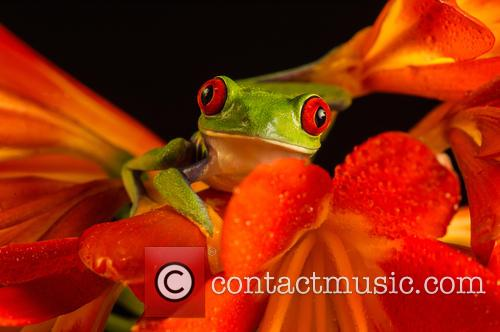 Red-eyed Tree Frog (agalychnis Callidryas) Found In Mexico Through Central America and Columbia Set Up Studio Shot 3