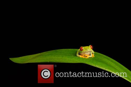 Red-eyed Tree Frog (agalychnis Callidryas) Found In Mexico Through Central America and Columbia Set Up Studio Shot 1