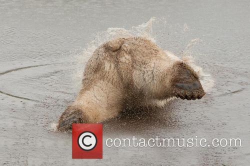 Polar Bear (ursus Maritimus) Diving Into Water Photographed Wildlife Park and Scotland! 1
