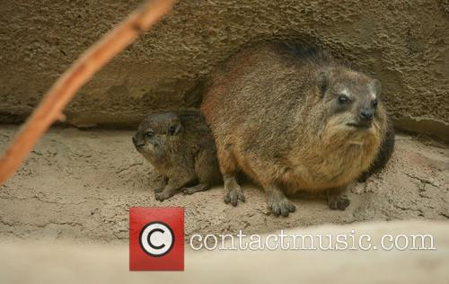 Furry Fab Four Rock, Hyraxes Born and Chester Zoo 2