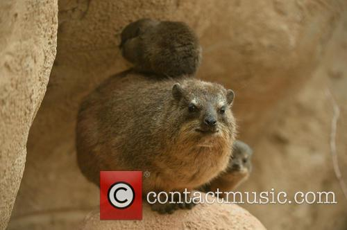 Furry Fab Four Rock, Hyraxes Born and Chester Zoo 3