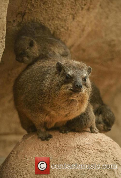 Furry Fab Four Rock, Hyraxes Born and Chester Zoo 4