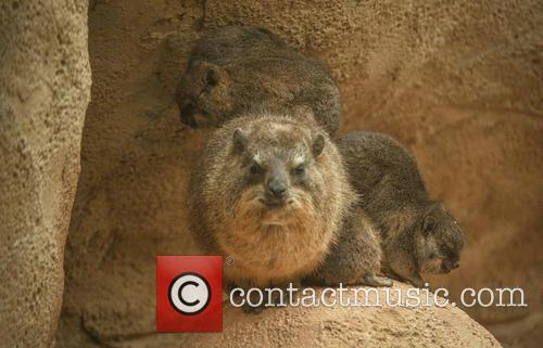 Furry Fab Four Rock, Hyraxes Born and Chester Zoo 5