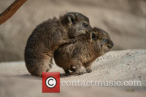 Furry Fab Four Rock Hyraxes Born at Chester...