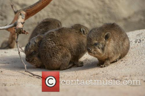 Furry Fab Four Rock, Hyraxes Born and Chester Zoo 7