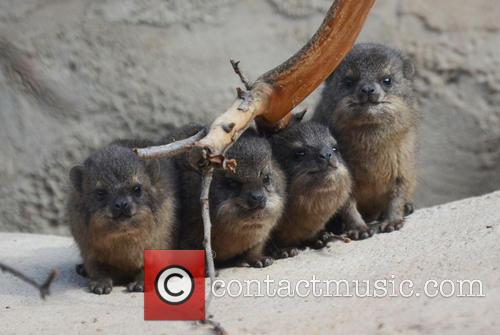 Furry Fab Four Rock, Hyraxes Born and Chester Zoo 8