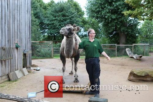 Bactrian Camel 4