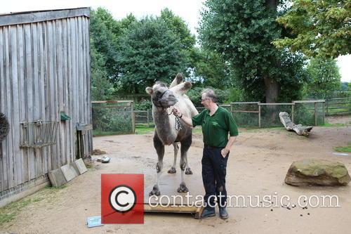 Bactrian Camel 5