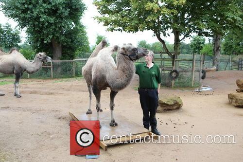 Bactrian Camel 1