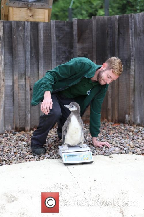 Humboldt Baby Penguin 4