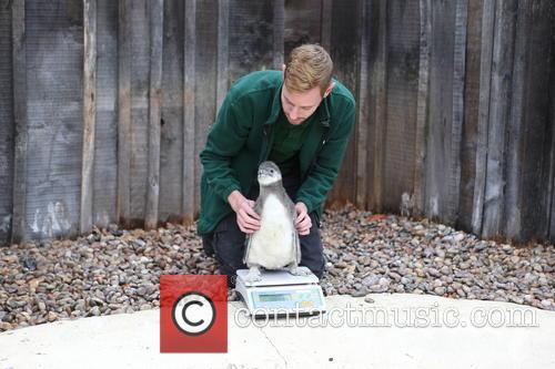 Humboldt Baby Penguin 5