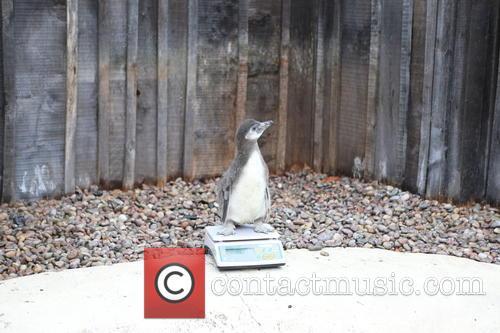 Humboldt Baby Penguin 6