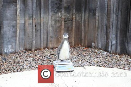 Humboldt Baby Penguin 1