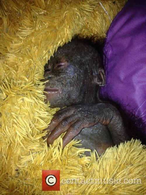 Charity releases images of baby Orangutan dumped in...