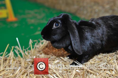 National Pet Show 2015 - Rabbit Grand National...