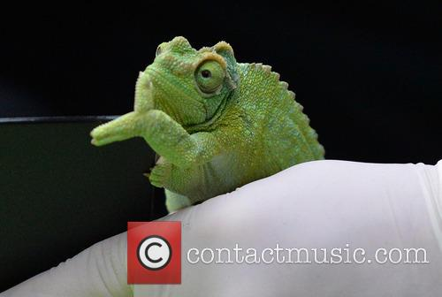 A Jackson's Chameleon 1