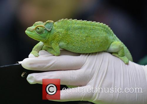 A Jackson's Chameleon 3