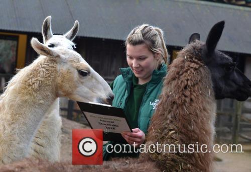 A Llama and An Alpaca 1